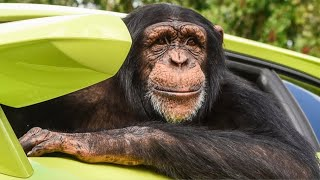 The One & Only Chimp Dinner Live | Myrtle Beach Safari