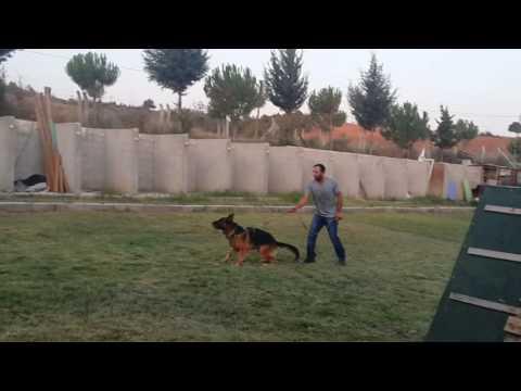 Adana köpek eğitim ve pansiyon hizmeti (VON MAHEY KENNEL CLUB )