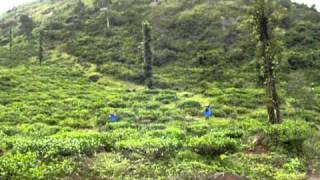 AdmirableIndia.com: Tea Plantations in Wayanad, Kerala
