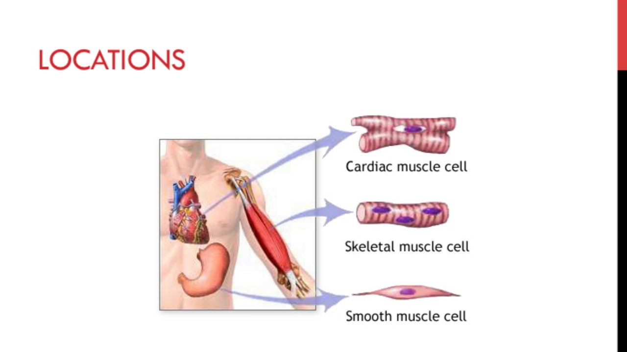 Specialized Cells Muscles Youtube