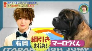 Hey! Say! JUMP初冠レギュラー番組!都内一大きい犬を探せ!中島・有岡・...