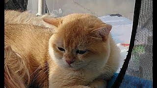 Выставка кошек/Тула/ ТРЦ Макси/ 01.09.2018.