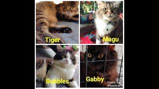 Lovely Cats l Birman Cat Breed l Jerome Cunanan