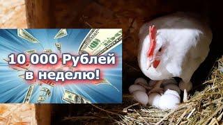 10 000 В НЕДЕЛЮ! КУРЫ НЕСУТСЯ, КАК ИЗ ПУЛЕМЁТА!!!