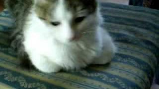 frrr - fusa di gatto