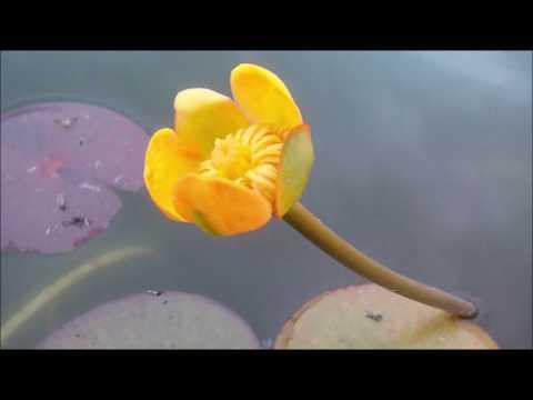 Nuphar japonica (Кубышка японская), водные растения, пруд, кубышки