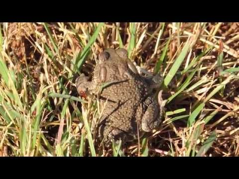 Texas Toads (Anaxyrus speciosus) Call Sound Calling and Breeding