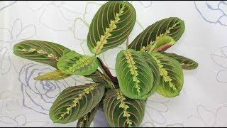 Maranta leuconeura - Marante, Prayer Plant(Viele Marantengewächse bringen ihre Blätter über Nacht in eine Schlafstellung. Zudem können sie sie nach dem Licht ausrichten. Weitere Infos zu Maranta ..., 2014-06-06T05:35:08.000Z)