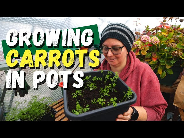 Can I grow carrots in a container? |  Winter vegetables in an unheated greenhouse