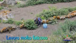 Download cappero di pantelleria