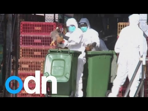 Officials kill 15,000 chickens as bird flu is found in China