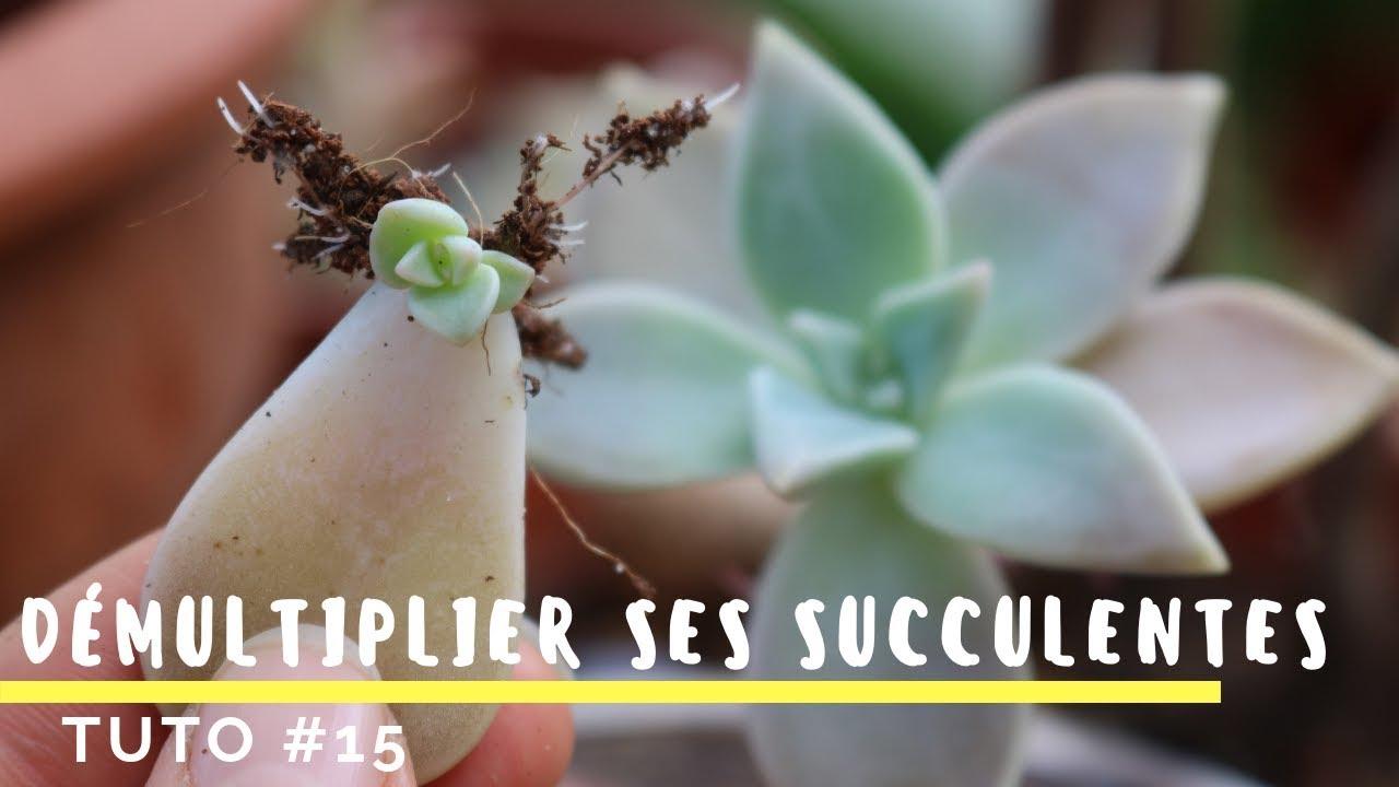 comment bouturer ses plantes grasses tr s facile tuto 15 youtube