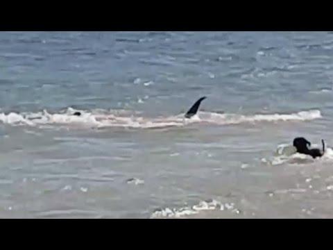 Dog Chase Tiger Shark - Paws vs Jaws - Dog Chases Sharks