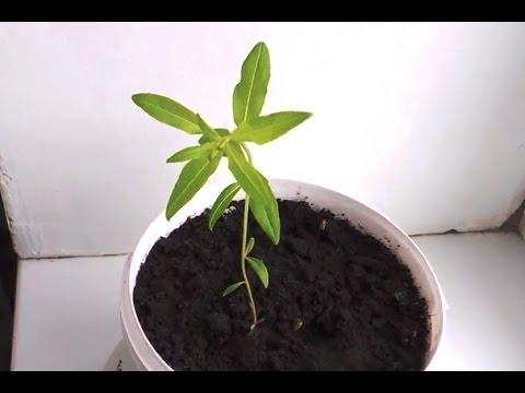 растение иван чай фото