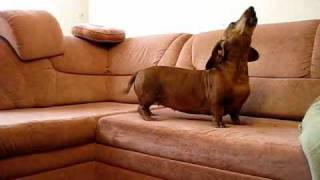Dachshund Song 2