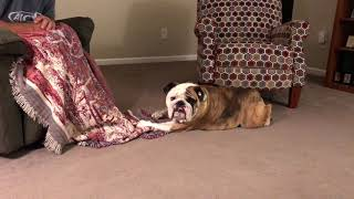 reuben-the-bulldog-dances-with-laps