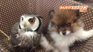 種別を超えた動物愛の映像が届きました。 青森・弘前市のフクロウカフェ...