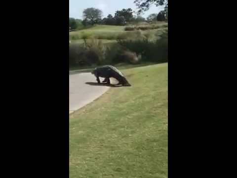 Laura Anderson - Huge alligator plops down next to 17th hole at Savannah golf course!