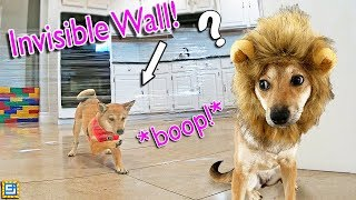 smartest-puppy-in-the-world-react-vs-invisible-wall-prank