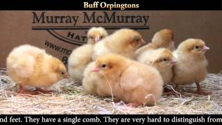 Buff Orpington Chicks