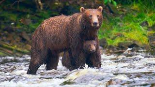 Bear Cub Swept Up In Raging Rapids   Eden: Untamed Planet   BBC Earth