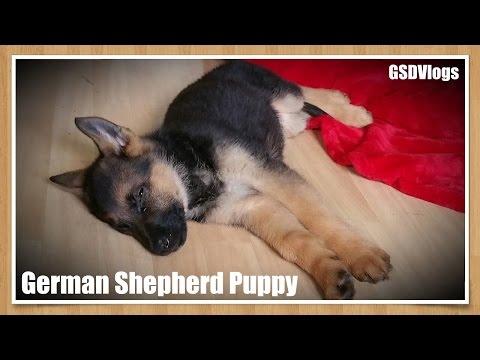 I Got A German Shepherd Puppy!   GSDVlogs