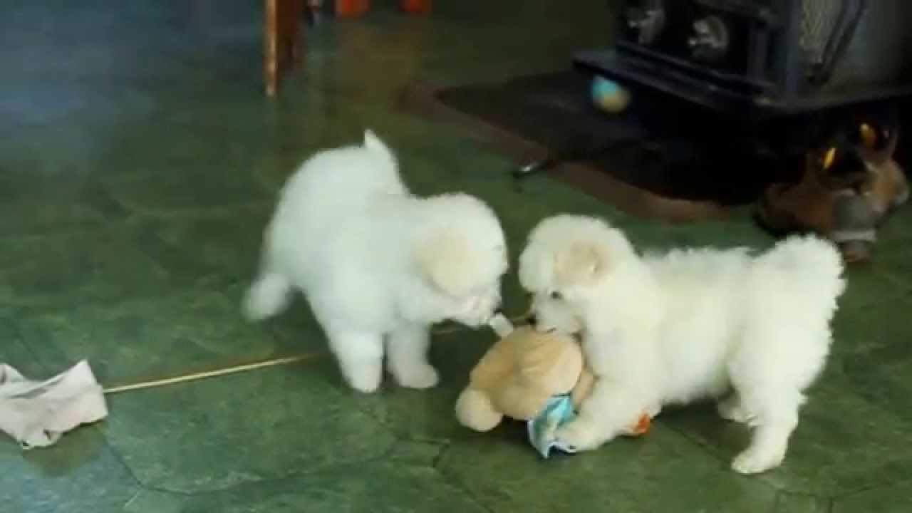 Eskipoo Puppies For Sale Youtube