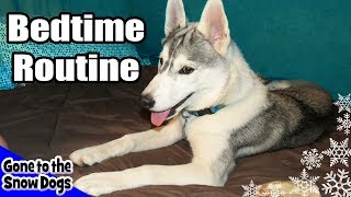 Siberian Husky Bedtime Routine By Jamie! *snow Dog Short 11*