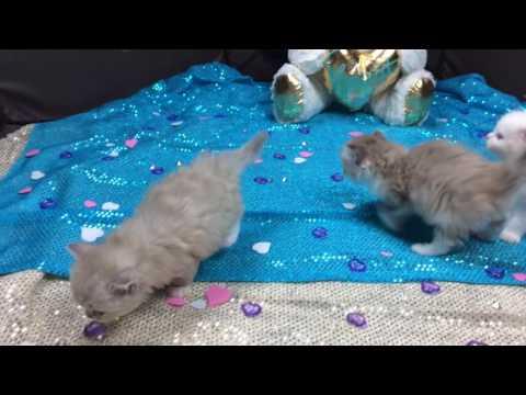 Sweet Lil Tulip's Kittens