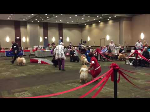 2017 Chow Chow National - Nyha