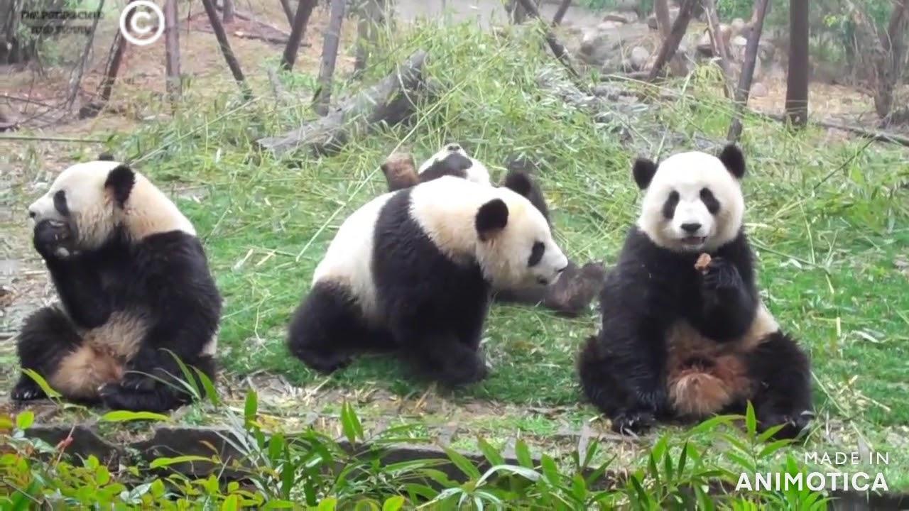 Panda Snacktime