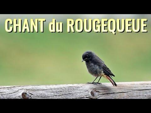 Chant du ROUGEQUEUE NOIR - chants d'oiseaux - YouTube