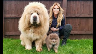 LARGEST CHINESE TIBETAN MASTIFF meets TINY POMERANIAN DOG  What will happen?