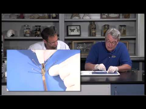 Detailed Earthworm (Annelid) Dissection (Jr. High, High School and College Review)