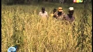 Champs de riz enseignants Kouroussa