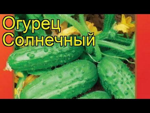 Огурец Солнечный (Огурец). Краткий обзор, описание характеристик, где купить семена cucumis sativus