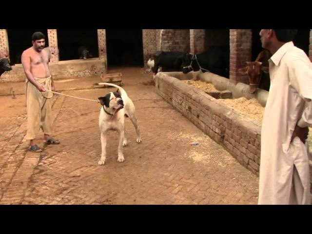 dog in pakistan.mp4 Travel Video