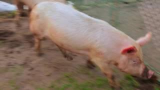 Как ливанцы свиней кормили и мыли — Отпуск по обмену, 29 мая в 11 50