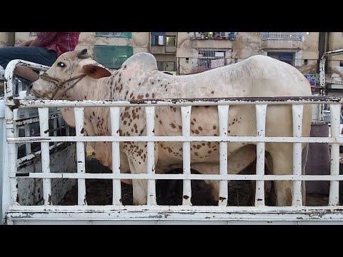 My Bull on the Way for Qurbani at Bakra Eid 2019 | ALLAH Qurbani Qubool Farmaey! Aameen
