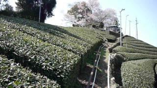 In Mariko, Shizuoka, Mr. Matsukawa tea plantation