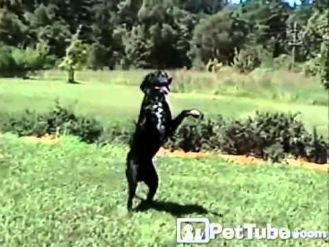 Zeke the Football Dog- PetTube
