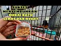 Kenapa Burung Ini Di Kasih Ulat Hongkong  Cepuk Perawatan Burung Nyilet Parah  Mp3 - Mp4 Download