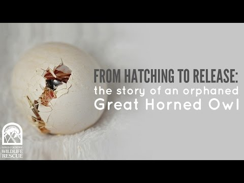 From Hatching to Release: the story of an orphaned Great Horned Owl