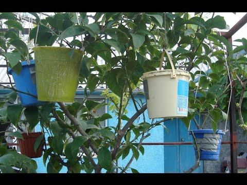 Размножение лимона  отводками своими руками!!! Reproduction of lemons
