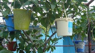 Размножение лимона  отводками своими руками!!! Reproduction of lemons(Детальное описание и технология размножения лимонов в домашних условиях!!!, 2015-05-06T19:29:53.000Z)
