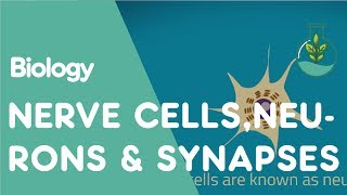 What are nerve cells, neurons and synapses? | Biology for All | FuseSchool