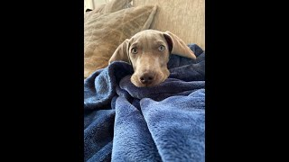 WHAT YOU NEED TO KNOW BEFORE GETTING A WEIMARANER | BLU
