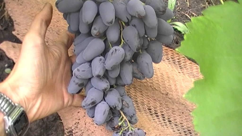 Виноград память негруля