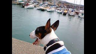 ブルテリア 独特の魅力① 愛犬 イチ との思い出。