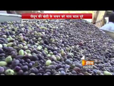 Procrastination over olive production in Rajasthan | First India News Rajasthan